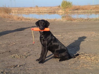 Black Lab Training