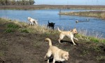 dogs_play_pond