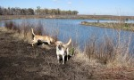 dogs_play_pond_2